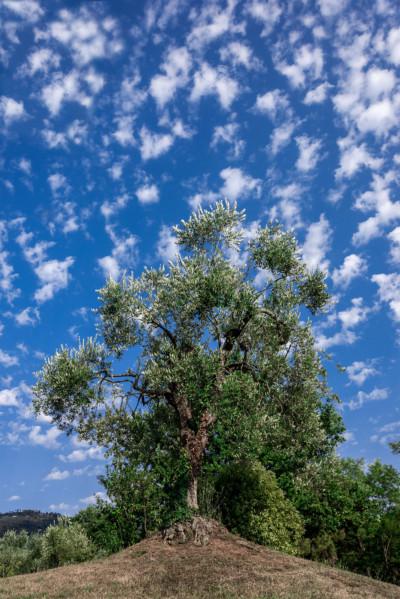 Albero e cielo di Toscana